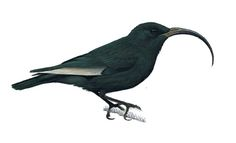 Black Mamo | Black Mamo (Drepanis funerea) » Planet of Birds.  Native to Molokai and fossil evidence it also lived on Maui.  Last specimen was collected in 1907.  A search in 1936 did not find any of the birds.