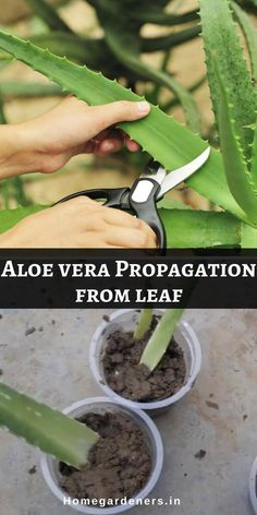 Aloe Vera Plant Care - Best ways to Care Aloe Vera at Home Select the mature plant that you would like to cut the leaf from the parent plant. Now select the leaf with inches long and cut the leaf at the base using a sharp, clean knife. Propagating Succulents, Succulent Gardening, Planting Succulents, Container Gardening, Garden Plants, Indoor Plants, Gardening Tips, Planting Flowers, Fruit Garden