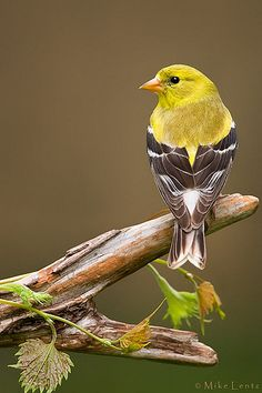 American Goldfinch  by Mike Lentz Photography*
