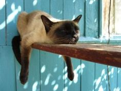 Siamese cat, relaxing.