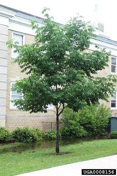 Meet A Tree: White Ash - Fraxinus americana Autumn Leaf Color, Leaf Coloring, Deciduous Trees, Photo Reference, Ash, Landscape, Plants, Meet, Gray