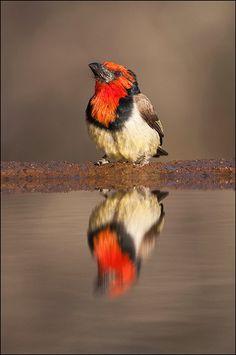 クビワゴシキドリ  Black-collared barbet (Lybius torquatus)