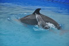 baby dolphin trying to keep up