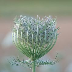 ~~Daucus in the mist (Queen Anne's Lace) by Cyber Phil~~