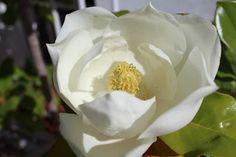 Jabones de Esperanza: Magnolia