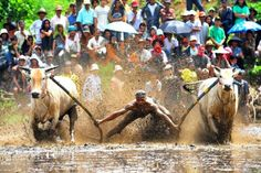 Pacu Jawi is a traditional game that comes from Tanah Datar, West Sumatra. Pacu Jawi derived from the runway means running and Jawi in Minangkabau language means cattle. The game
