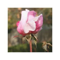 Blushing Beauty Wrapped Canvas
