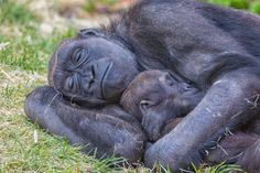 The critically endangered Western Lowland Gorilla.  Mom, Kioja, enjoys a nap with her 15 month old baby Kimani.  The Calgary Zoo is heavily involved in the conservation efforts for these gorillas.