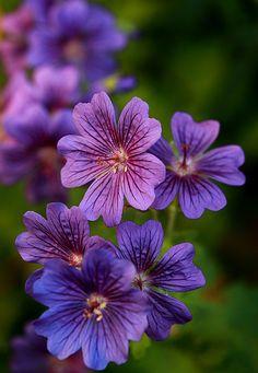 ✯ Geranium (Cranesbill)