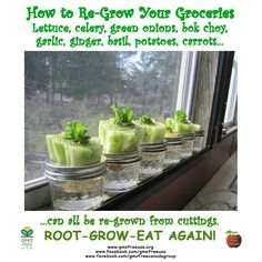 Regrow used veggies-lettuce scallions, ginger, basil, potatoes, garlic, and carrots