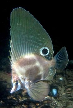 Hutchins Boarfish | Flickr