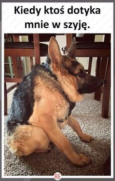 German Shepherd Dog With Short Spine Found As Stray Has Loving Heart Funny Cute, The Funny, Funny Animals, Cute Animals, Crazy Animals, Animal Memes, Morning Humor, German Shepherd Dogs, German Shepherds