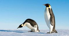 "6' 8"" Penguins used to roam Antarctica"