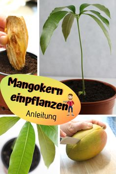 Mangopflanze ziehen: Mangokern einpflanzen Pull your own mango plant out of a core. We show how it works. With our step-by-step guide we explain how to easily pull a mango tree out of the core. The detailed instructions are available on Plantopedia. Herb Garden Design, Vegetable Garden Design, Garden Pots, Garden Ideas, Plantar Mango, Mango Plant, Indoor Water Garden, Mango Tree, Stone Fruit