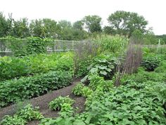 We always had a large vegetable garden with a few flowers on the edges: grew cucumbers, tomatoes, corn, radishes, carrots, potatoes, cabbage.