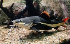 Red tail Catfish is a tropical fish, which means it avoids extreme temperatures conditions. Tropical Freshwater Fish, Freshwater Aquarium Fish, Tropical Fish, Sea Fishing, Saltwater Fishing, Upside Down Catfish, Red Tail Catfish, Saltwater Aquarium Setup, Monster Fishing