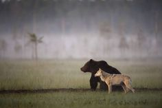 Photographer Lassi Rautiainen captured a profound partnership between a she-wolf and a brown bear in the wilds of northern Finland. More info in comments.