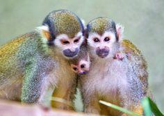 Baby Squirrel Monkey at Busch Gardens Tampa Bay
