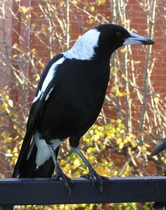 Australian Magpie comes to call...