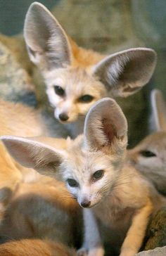 Fennec Foxes by Jacek Bednarczyk Wild Animals Photos, Animals And Pets, Baby Animals, Funny Animals, Cute Animals, Beautiful Creatures, Animals Beautiful, National Geographic Animals, Fantastic Fox