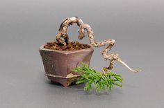 プチ盆栽|シンパクJ(しんぱく・真柏)松柏盆栽