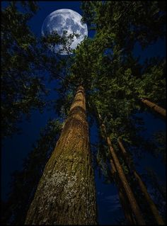 THIS IS THE TOWER: The beautiful Redwood Moon...for some reason it reminds me of the trips when I was a child to Camp Cazadero just north of the Bay Area... Memories are great, they pull at our hearts, but, can you remember that state of anticipation you lived in, in the weeks and days leading up to your trip to Cazadero, or whatever the adventure was for you? That's what we lose when we become adults, that excitement for tomorrow. We've got to get ourselves back to the Garden...FROM THE…