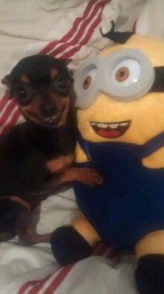 these images are cursed this image will protect you Funny Animal Jokes, Funny Dog Memes, Cute Memes, Cute Funny Animals, Funny Cute, Funny Dogs, Funny Chihuahua Pictures, Funny Captions, Funny Dog Pictures