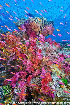 Namena Soft Corals ~ underwater view, reefscape with colorful anthias, Namena Marine Reserve, Fiji by Cornforth Images