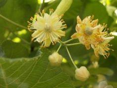 Dansk artsnavn Småbladet Lind.  Spiselige dele. Friske eller tørrede blomster anvendes til urtete.  Anvendelse som lægeplante. Lindeblomster anvendes traditionelt som te mod forkølelse og forkølelsesrelateret hoste. Blomsterne har sveddrivende virkning. Bladene anvendes på tilsvarende måde, men deres virkning er ikke så godt kendt som blomsternes. Præparater af selve træet (splintved) bliver i folkemedicinen anvendt mod lidelser i lever og galdeblære, samt mod cellulitis, mens kul af…
