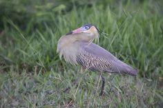 Outra série com a Maria-faceira (Syrigma sibilatrix) - Another series with the Whistling Heron - 07-05-2009 - IMG_7560 | por Flávio Cruvinel Brandão