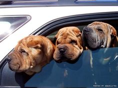 Shar-peis must do this to smooth out their wrinkles in the breeze?