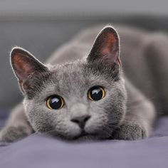 cat breeds Hypoallergenic Cats: 11 Adorable Breeds That Won't Make You Sneeze Cute Cats And Kittens, I Love Cats, Cat Anime, Russian Blue Kitten, Hypoallergenic Cats, Image Chat, Cute Cat Breeds, Grey Cat Breeds, Small Cat Breeds
