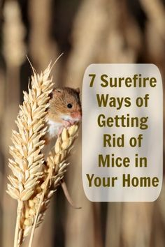 Get Rid of Those Bothersome Mice – Without Paying a Professional - DIY & Crafts