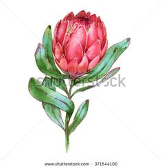 Picture of Hand-drawn watercolor illustration of red protea flower. Exotic tropical and colorful blossom of the beautiful flower. Isolated on the white background. stock photo, images and stock photography. Flor Protea, Protea Art, Protea Flower, Watercolor Bookmarks, Watercolor Flowers, Watercolor Paintings, Birthday Painting, Mothersday Cards, Australian Flowers