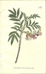 William Curtis Hand Colored 1795 Botanical Print Small Melianthus 301