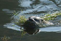 Rare San Francisco river otter stumps researchers