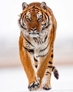 Flashes of Brilliance — beautiful-wildlife: Amur Tiger by © suhaderbent