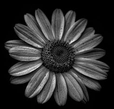 Darkened Daisy by mnewman1979 on 500px