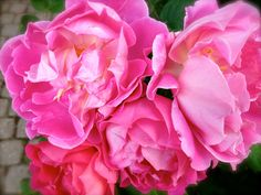 Gorgeous deep pink roses