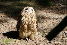 Owl from Ähtäri, Finland 2012