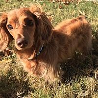 Available Pets At Pup Cat Co In Winder Georgia Dachshund