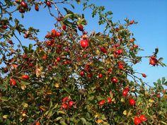 september, Rosa rugosa alba - nypon