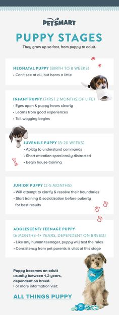 Did you know there are so many stages in your puppy's development? From birth, to infancy, to juvenile, to junior, to adolescence, to adulthood, learn what the stages entail with this handy chart.