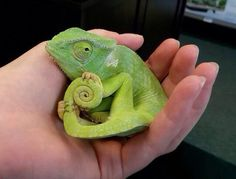 1000 images about chameleons on pinterest baby