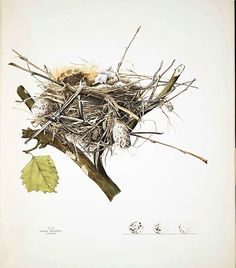 Bird's Nest, Plate VI