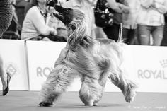Afghan Hound, Dog Show, Milan, Dogs, Photography, Animals, Photograph, Animales, Animaux