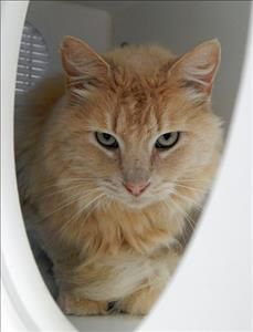 Poppy  Cat • Domestic Long Hair Mix • Adult • Female • Medium  Helping Hands Humane Society Topeka, KS  * Hello there! My name is Poppy, and I'm a 6 year old buff cat looking for her furr-ever home! I came to Helping Hands as a stray. I'm very affectionate and I love to be pet. I would make a great addition to any calm household looking for a loving lap cat!
