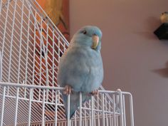 Kiko the pacific blue parrotlet #petpic