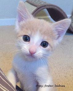 Cute baby boy Colby...💚 #babyboy #cute #cuteboy #adopt #adoptdontshop  #babycat  #bestmeow #bestcats_oftheworld  #cutekitten #cutepetclub #catsofinstagram #cats_of_instagram #catsoninstagram #catsrequest #cat_features #excellent_kittens #igcutest_animals #meowsandwoofs #ilovecats #ilovekittens #thedailykitten #foster #fuzzball #fostercat #fosterkitten #fosteringsaveslives #instacat #instakitten #petstagram #petoftoday