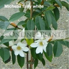 Buy Michelia fairy white Magnolia plants from Online Plants. Provide masses of blooms, are quick growing and fabulous for hedging, screening, espaliering, topiary and massed plantings. Organic Plants, All Plants, Liquid Fertilizer, Topiary, Hedges, Evergreen, Shrubs, Magnolia, Bloom
